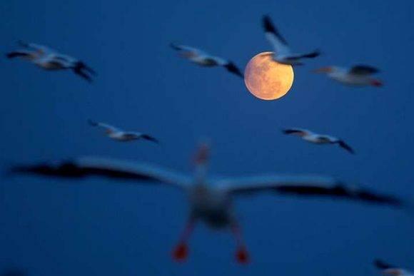 Pelícanos vuelan durante el eclipse penumbral de luna en la isla de Petatán, México. Foto tomada de El Clarín.