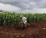 Un campesino atiende una plantación de caña de azúcar en Jovellanos, Cuba. La producción azucarera cubana está subiendo luego de un período de ajuste a las condiciones del mercado internacional tras la caída del bloque soviético. (AP Photo/Javier Galeano, File)