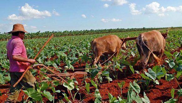 camopesinos-cubanos