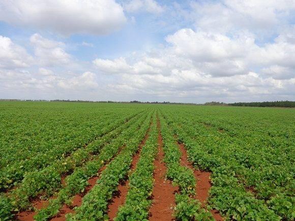 Cultivo de granos en Cuba.