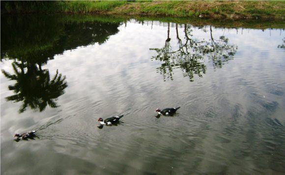 Patos en el estanque, Foto: Humberto E Lanzaque Soto / Cubadebate