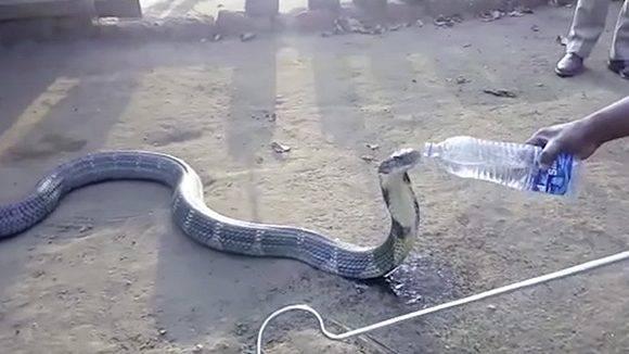 Una serpiente de 3,5 metros bebe agua tranquilamente de la mano de hombre. Foto: Youtube/ Caters TV.