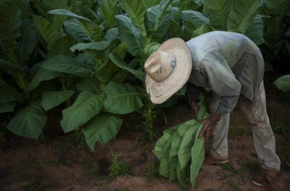 Las tierras vueltabajeras son consideradas por muchos como las mejores para este cultivo. Foto: Ladyrene Pérez/ Cubadebate.