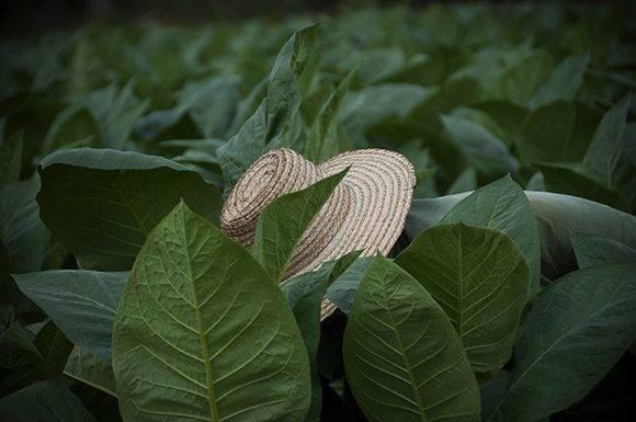 Plantaciones de tabaco en Pinar del Río, provincia más productora de esa hoja aromática en Cuba. Foto: Ladyrene Pérez/ Cubadebate.
