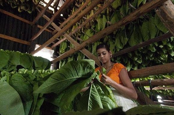 Ensarte de la hoja del tabaco. Foto: Ladyrene Pérez/Cubadebate.