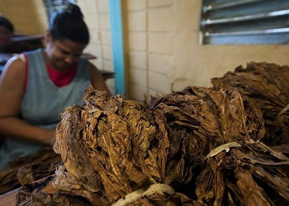 Despalillo de la hoja de tabaco. Foto: Ladyrene Pérez/ Cubadebate.