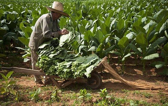 Recogida de hojas de tabaco en San Juan y Martínez, Pinar del Río. Foto: Ladyrene Pérez/ Cubadebate.