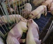 Cría de cerdos expuestos en XX de la Feria Internacional Agroindustrial Alimentaria, Fiagrop, 2017. Foto: Ismael Francisco/Cubadebate.