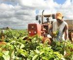 Más de 14 000 hectáreas en todo el país se dedican al cultivo de frutas. Foto: Alberto Borrego.