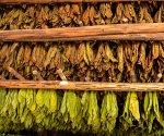 Secado de tabaco, en San Juan y Martínez, provincia de Pinar del Rio, el 1 de marzo de 2016. ACN FOTO/Marcelino VAZQUEZ HERNANDEZ/sdl