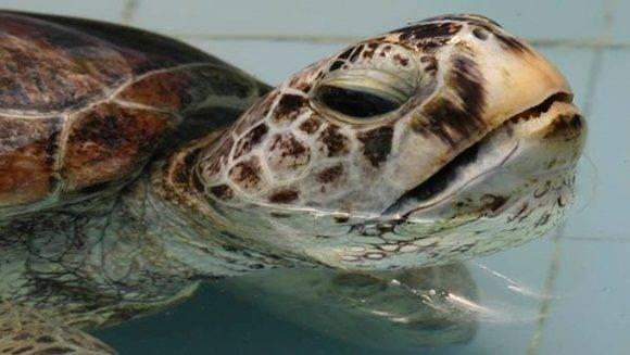 La tortuga verde marina verde puede vivir unos 80 años.  | Foto: AP