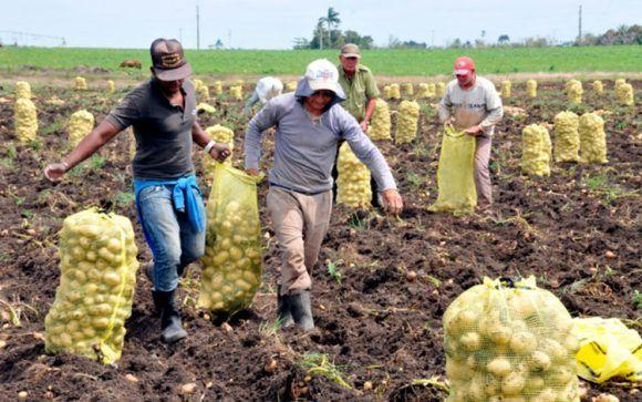 Resultado de imagen para fotos de la cosecha de papa