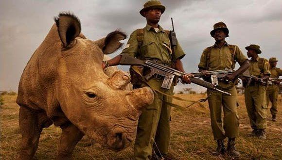 El rinoceronte blanco del norte, Sudán, junto a agentes de protección de la reserva Ol Pejeta, en Kenia (Ol Pejeta Conservancy)