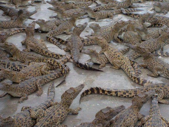 Criadero de cocodrilos en la Ciénaga de Zapata. Foto: Alexis Yero Díaz / Cubadebate