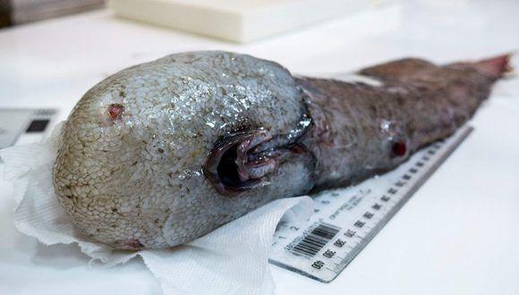 """El pez """"sin rostro"""" es una de las criaturas más raras hallada por la expedición australiana. Foto: AFP"""