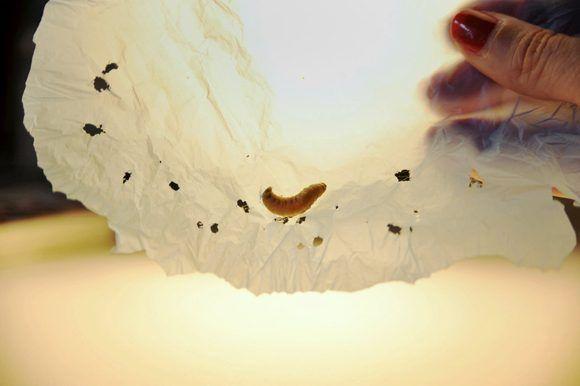 Algunos científicos descubrieron que una oruga utilizada como cebo para pescar puede ser la clave para degradar los plásticos. Foto: César Hernández/ CSIC/ Getty Images.