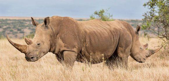 ¿Un rinoceronte de dos cabezas? Foto: George Dian Bala/ CPWA.