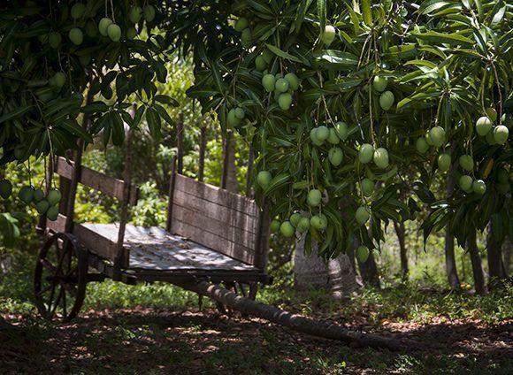 Paisaje de campo cubano salpimentado de árboles grávidos de frutos. Foto: Irene Pérez/ Cubadebate.