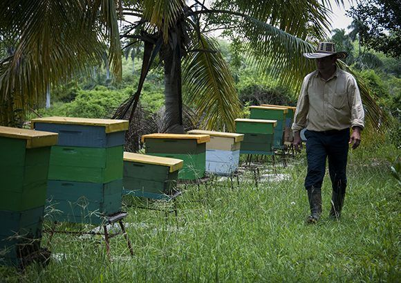 El apiario cuenta actualmente con 100 colmenas. Foto: Irene Pérez/ Cubadebate.