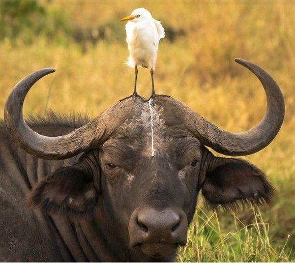 Al menos no le cayó en el ojo... La imagen del búfalo y el ave fue captadas en el Parque Nacional Meru, en Kenia. Foto: Tom Stables/ CPWA.