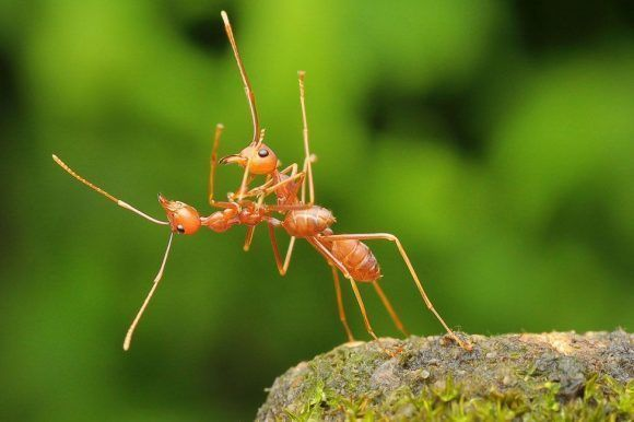 Estas dos hormigas coloradas en Bata, Indonesia, parecen haber sido descubiertas durante una pausa en una danza. Foto: Usman Priyona/ CPWA.
