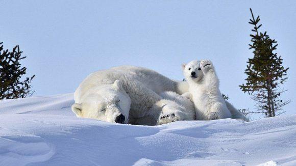 Mientras la madre duerme una siesta en Manitoba, su cría levanta la pata en lo que parece un divertido saludo a la cámara. La imagen fue tomada por Philip Marazzi en Canadá, y le valió una mención. Foto: Philip Marazzi/ CPWA.