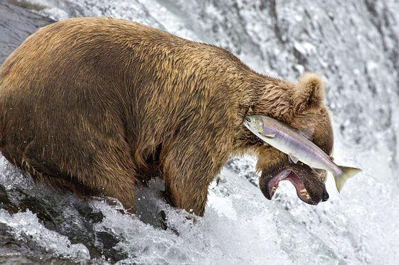 El intento fallido de este oso por atrapar a un salmón fue captado por la cámara de Rob Kroenert en el Parque Nacional Katmai, en Alaska. Foto: Rob Kroenert/ CPWA.