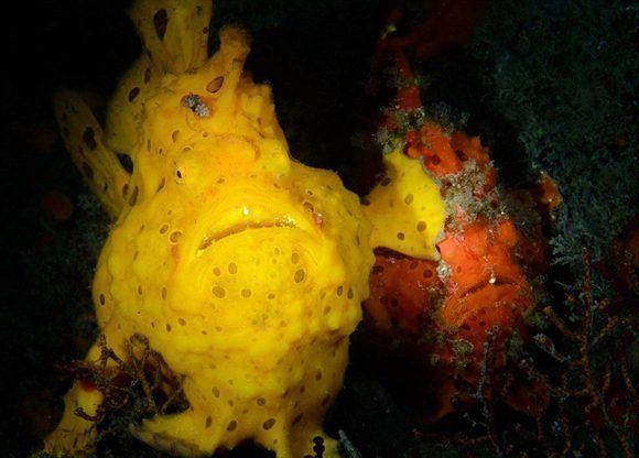 Con esta fotografía en la que un pez (Antennarius pictus), parece estar dándole un cachetazo a otro, Jim Chen obtuvo el primer premio en la categoría de fotos submarinas. Foto: Jim Chen/ CPWA.