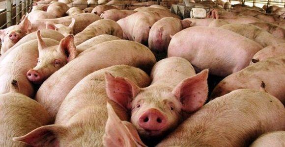 produccion-de-cerdo-1