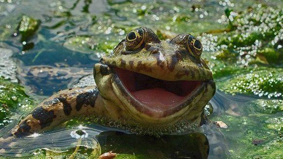 Con una sonrisa envidiable esta rana parece encantada de mirar hacia el fotógrafo. La foto es de Artyom Krivosheeev. Foto: Artyom Krivosheev/ CPWA.