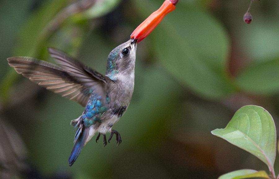 El Zunzuncito o pájaro mosca (Mellisuga helenae) ave endémica de Cuba conocido también como zunzún, colibrí, trovador o zumbete. Foto: Ismael Francisco/Cubadebate.