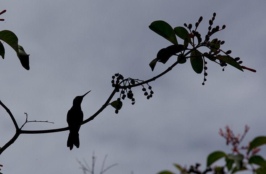 l Zunzuncito o pájaro mosca (Mellisuga helenae) ave endémica de Cuba conocido también como zunzún, colibrí, trovador o zumbete. Foto: Ismael Francisco/Cubadebate.