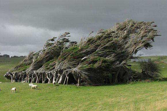 arboles-inclinados-por-el-viento-nueva-zelanda