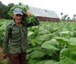cosecha-de-tabaco-en-pinar-del-rio