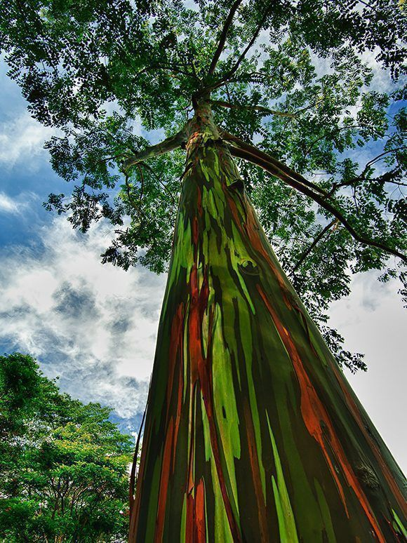 eucalipto-arcoiris-hawai