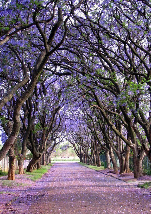 jacaranda-sudafrica-copia