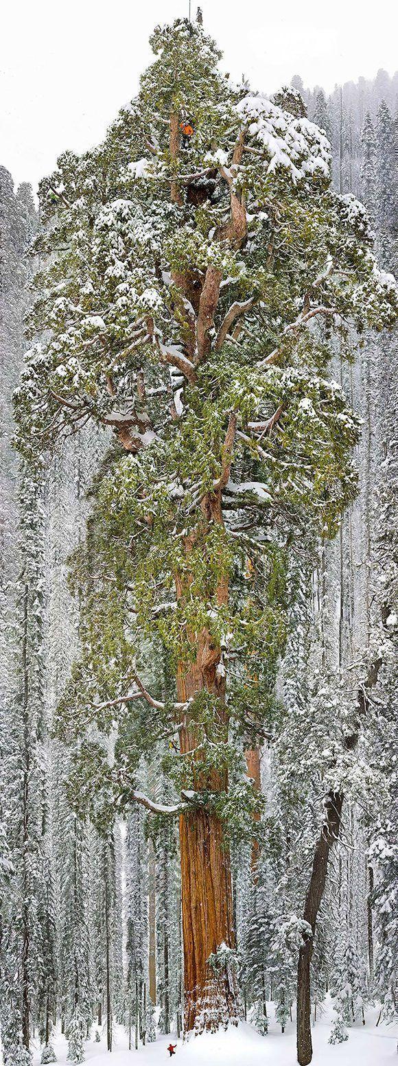 la-tercera-secuoya-mas-grande-del-mundo-california-copia