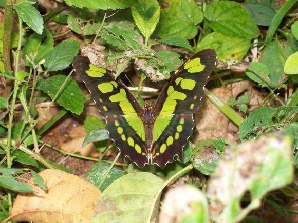 Mariposa verde. Foto: Yosbel Lezcano Viamontes / Cubadebate