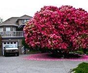 rododendro-de-125-anos-de-edad-canada