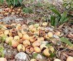 Más de dos mil 600 toneladas de mango de las seis mil 794 toneladas contratadas con la industria para la actual campaña se perdieron en los campos de Guantánamo al cierre de junio. Foto: Archivo.