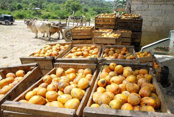 La situación no es nueva, se repite cada año y demanda de los responsables mayor previsión y preparación para enfrentar cosechas. Foto: Venceremos.