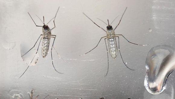 Mosquitos Aedes Aegypti fotografiados en un laboratorio. Foto: EFE.