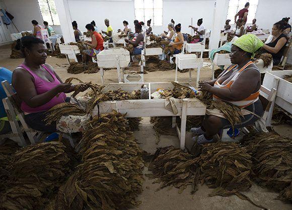 Escogida de las hojas que serán sometidas a la etapa de secado. Foto: Irene Pérez/ Cubadebate.
