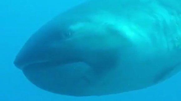 El tiburón de boca ancha puede medir hasta cinco metros. Foto: Captura de pantalla/ Penny Bielich/ Youtube.