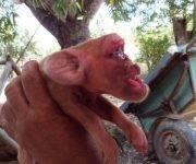 Un cerdito diferente, con cara de mono, en San Juan y Martínez, Pinar del Río. Foto: Rosalía Suárez Said