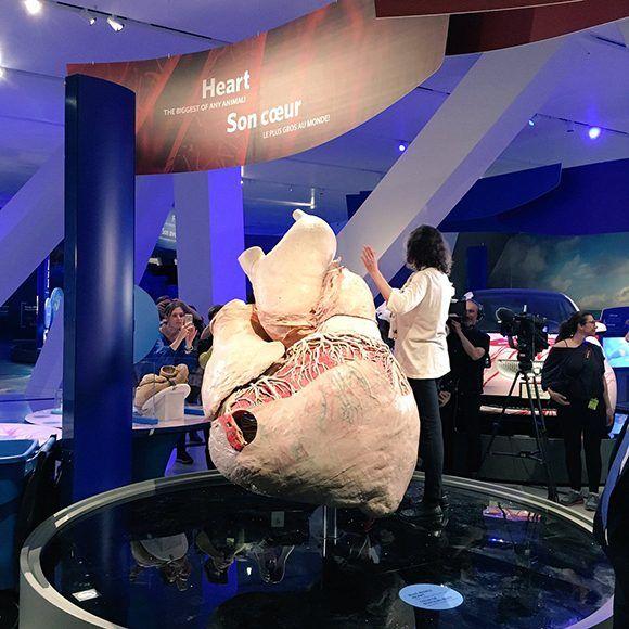Exhiben corazón de ballena azul en Museo de