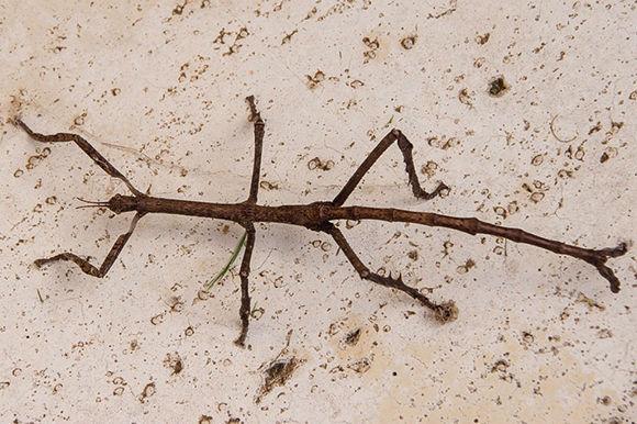 El insecto palo. Foto: EFE.