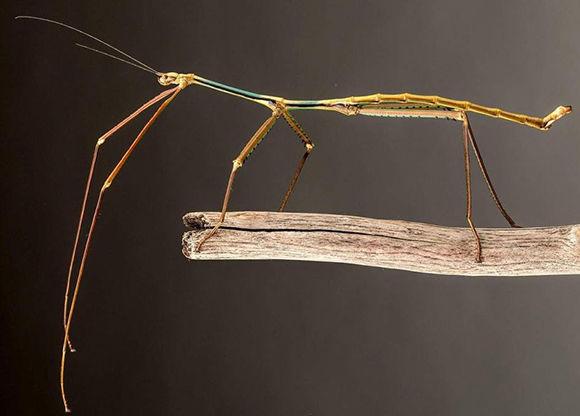 El insecto ha sido criado en el Museo de Insectos de China Occidental. Foto: Wikimedia.