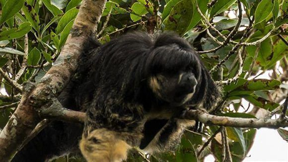 El primate Pithecia Vanzolini no era visto vivo desde 1936. Foto: Laura Marsh/ Global Conservation Institute.