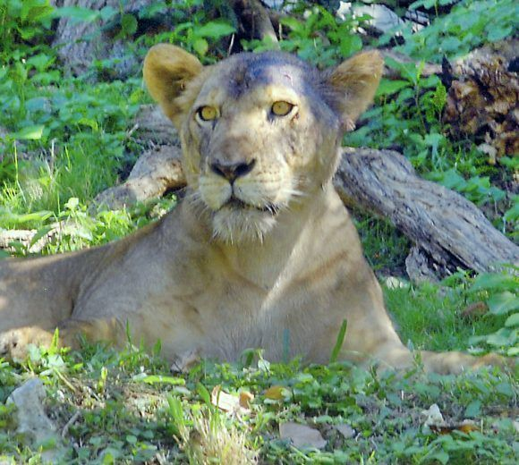 El león en el Zoológico Nacional. Foto: Jorge Luis Sánchez / Cubadebate
